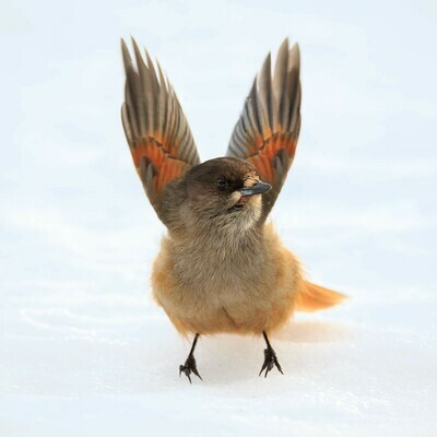 Siberian Jay - Square Photographic Print