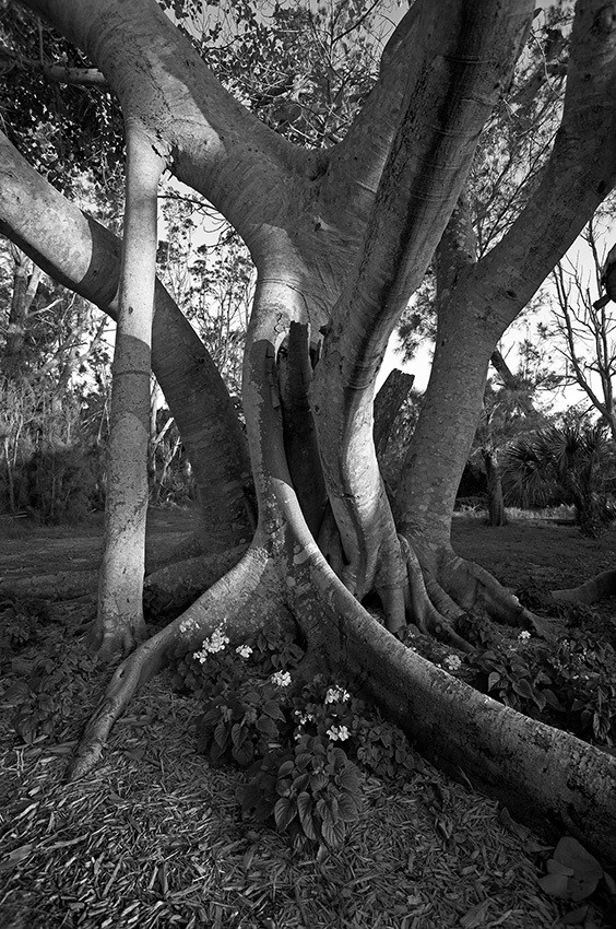 Banyon Tree, Hermitage - Florida