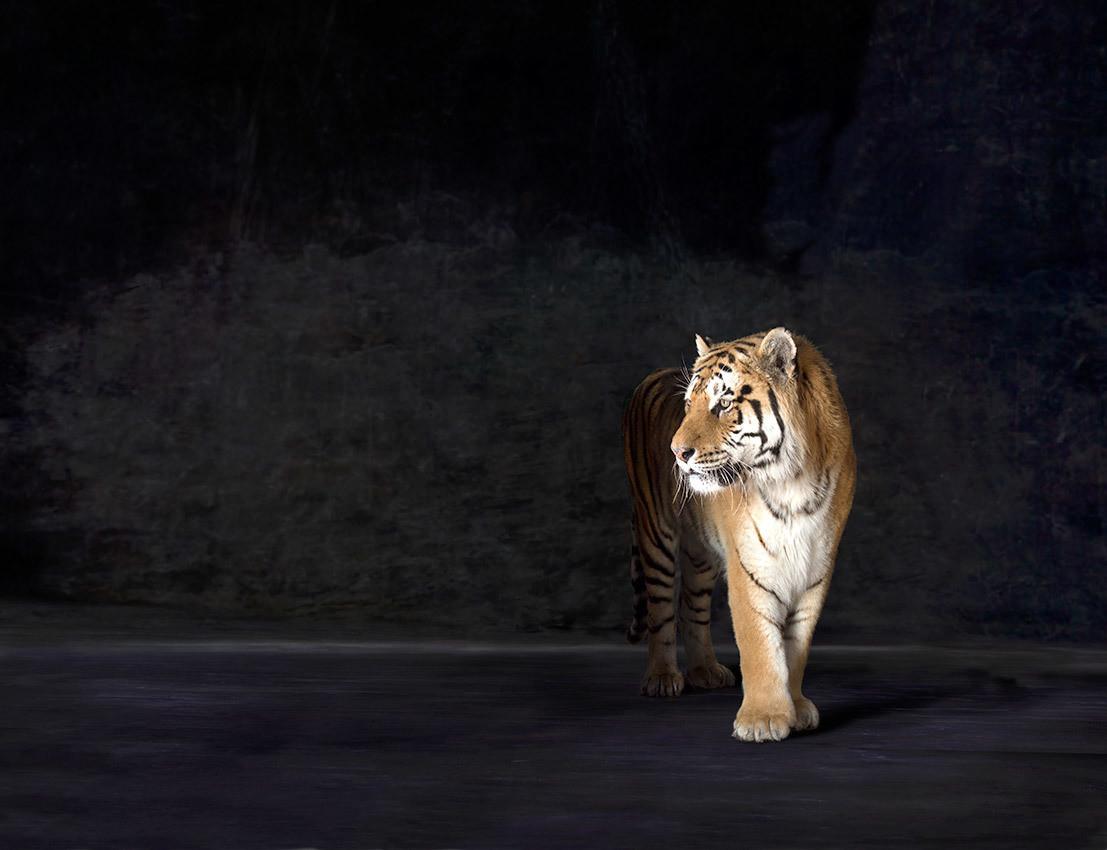Amur - The Endangered Series, Siberian Tiger