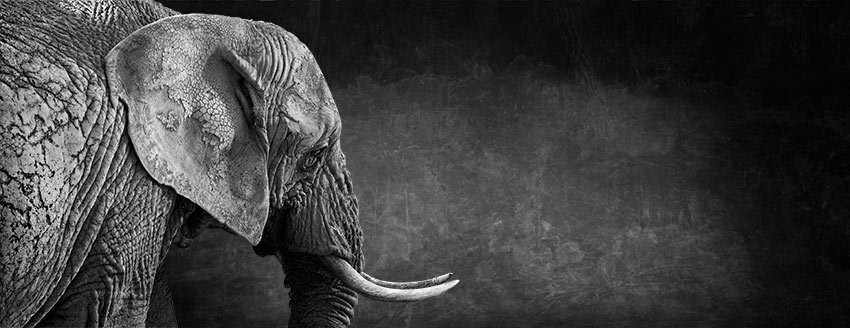 Matriarch l - The Endangered Series, Elephant