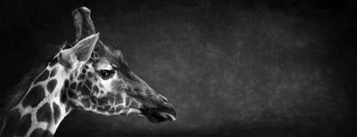 The Giraffe - The Endangered Series