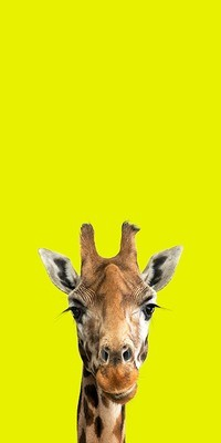 Brenda - The Endangered Series, Giraffe