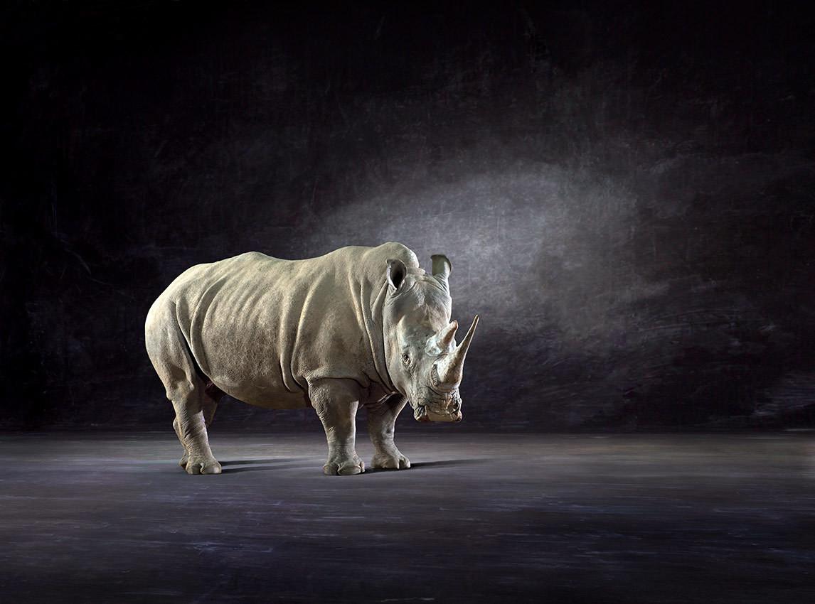 White Rhino - The Endangered Series