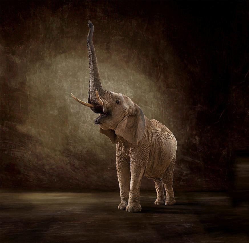 Ashanti - The Endangered Series, Elephant