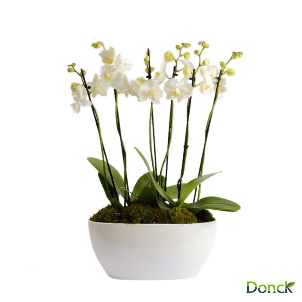 Phalaenopsis Theatro pt
