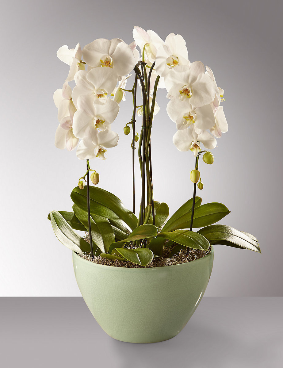 Phalaenopsis umbrella 00045
