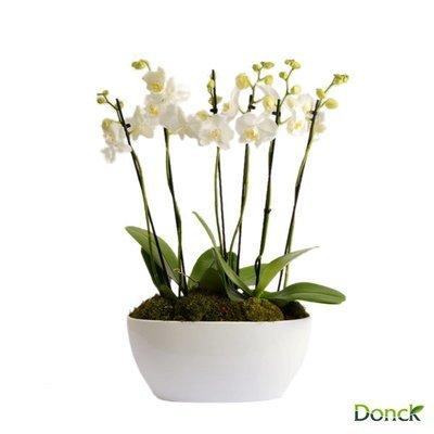 Phalaenopsis Theatro