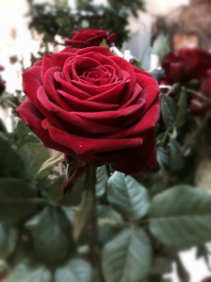Red Naomi Cretan Flowers