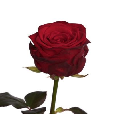 12 τριαντάφυλλα Red Naomi extra