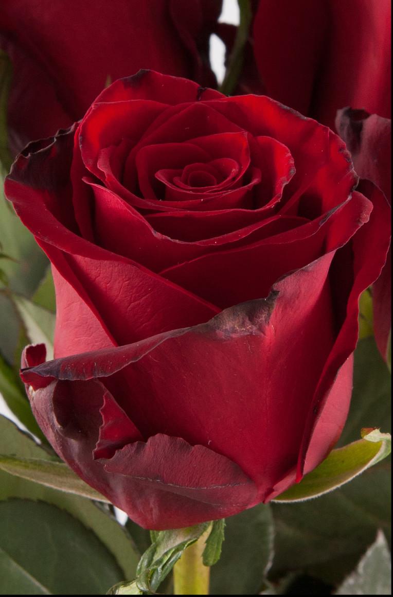 Τριαντάφυλλα Κόκκινα