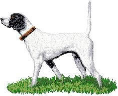 English Pointer D85