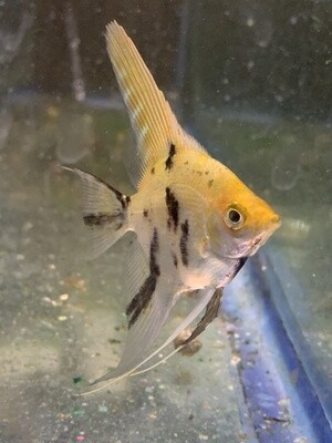 Angelfish Canada Online Store