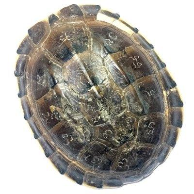 Tao Ruean Maha Pokasap Jarn Mer Temple Turtle Shell with Handmade Magic Spell Inscriptions - Luang Por Prohm Wat Ban Suan