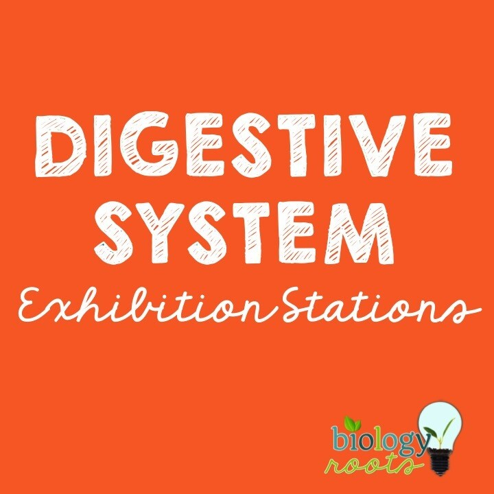 Digestive System Exhibition Stations