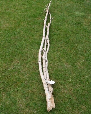 Birch Stems