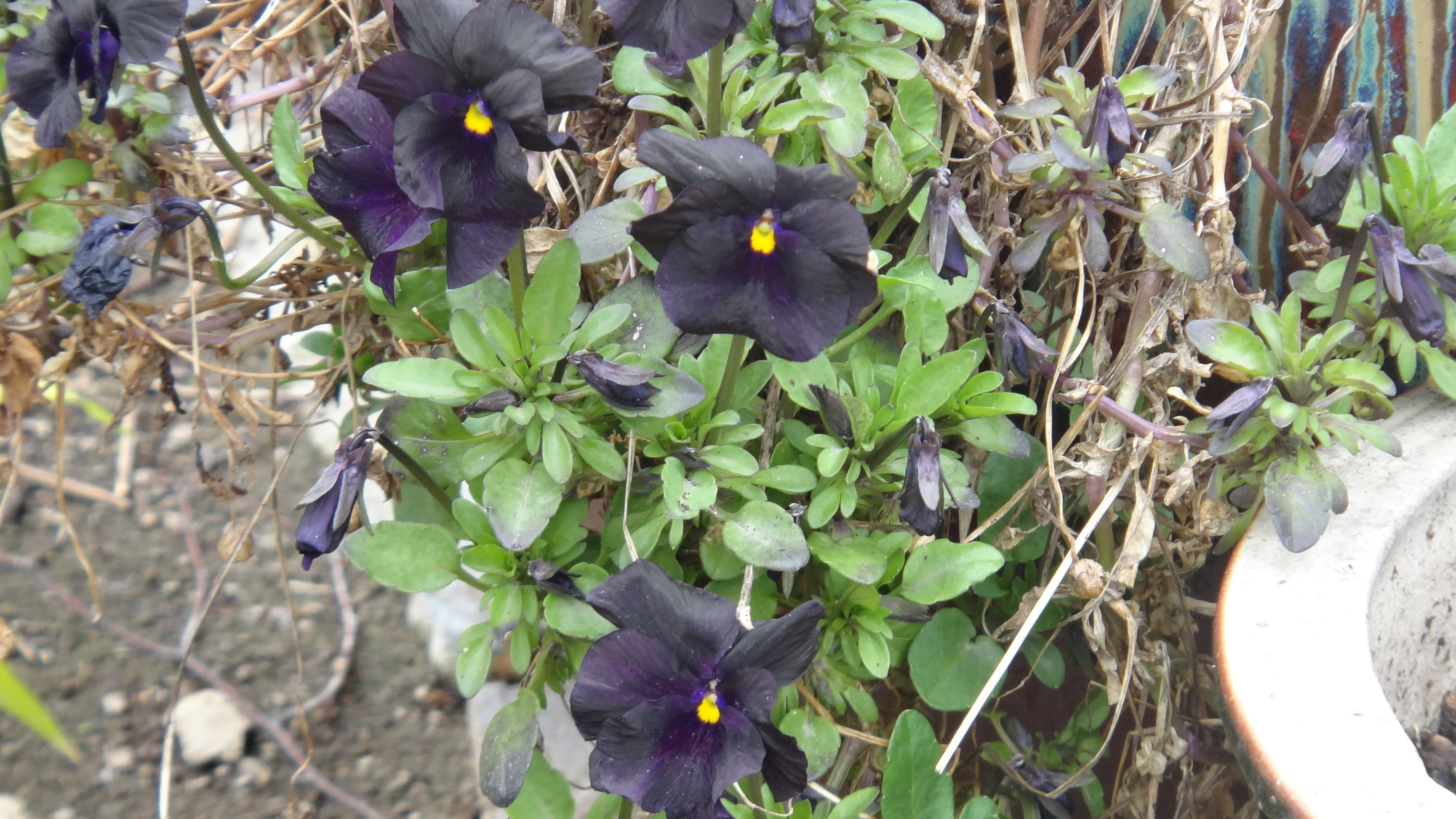 Viola Molly Sanderson Rare Black Violet Fragrant Spring Flowers