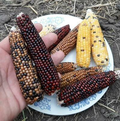 Кукуруза Индейцев Кочити - Cochiti Popcorn