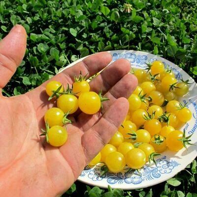 Дикие сладкие помидоры  Свит Пиа Белые