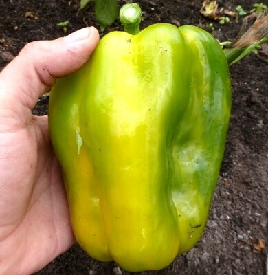 Перец Жёлтый Монстр - Yellow Monster Pepper