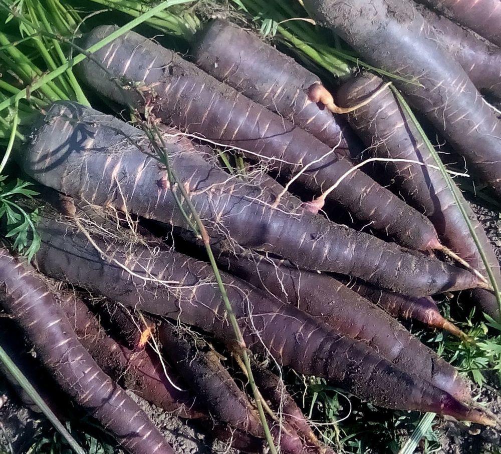 Морковь Фиолетовая Драконовая - Dragon Carrot