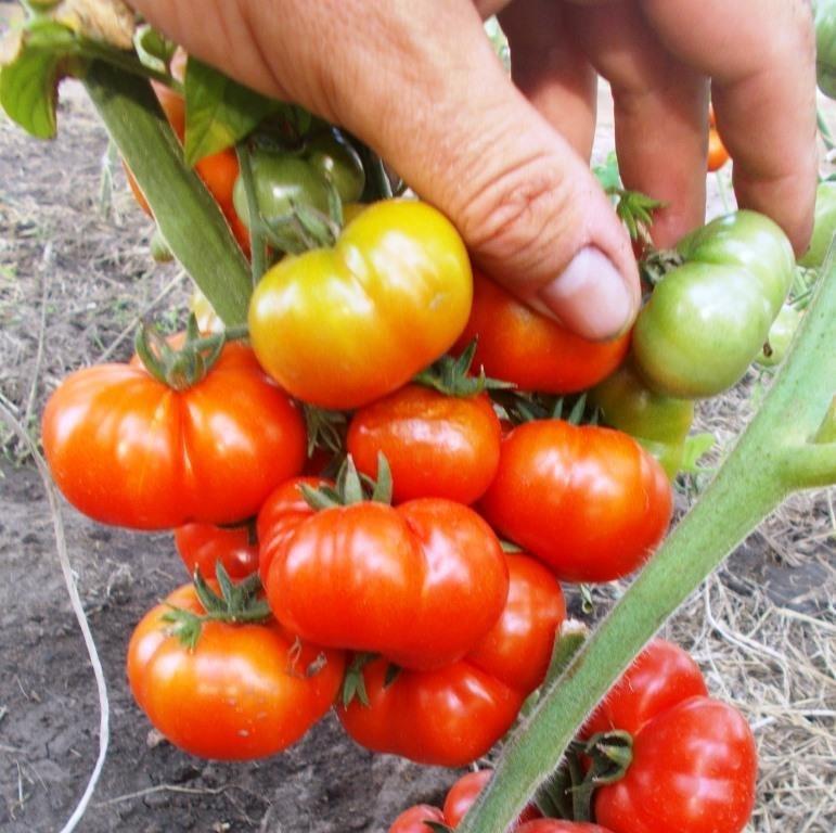 Помидоры  Черри Санторини - Cherry Santorini Tomato