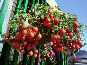 Помидоры для подвесных корзин, ампельные — Garden Pearl