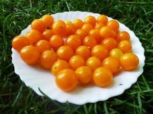 Томат Дикий — Оранжевый Виноград — Orange Grape Tress Tomato — Lycopersicon humboldtii