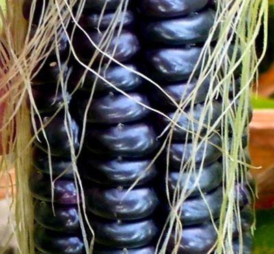 Чёрная Кукуруза Ацтеков - Black Aztec Corn