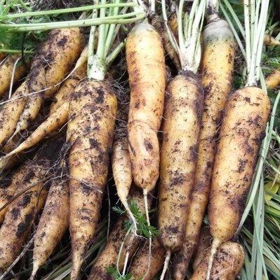 Морковь Жёлтая Амарилло - Amarillo Carrot