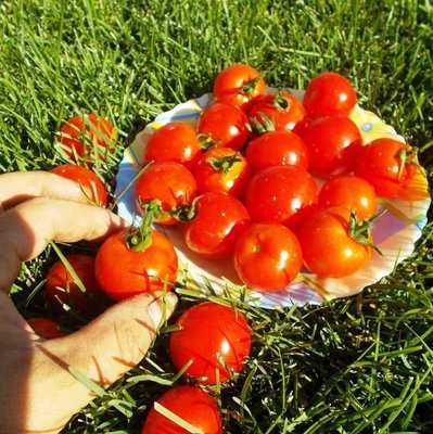 Помидоры Хайнц -  Heinz Tomato