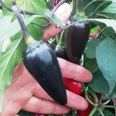 Перец Халапеньё Чёрный - Jalapeno Black