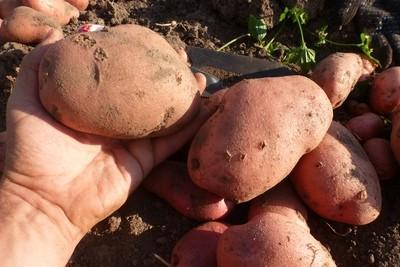 Ботанические семена картофеля Сарпо Мира (Sarpo Mira Potatoes). Сорт полностью устойчив к фитофторе.