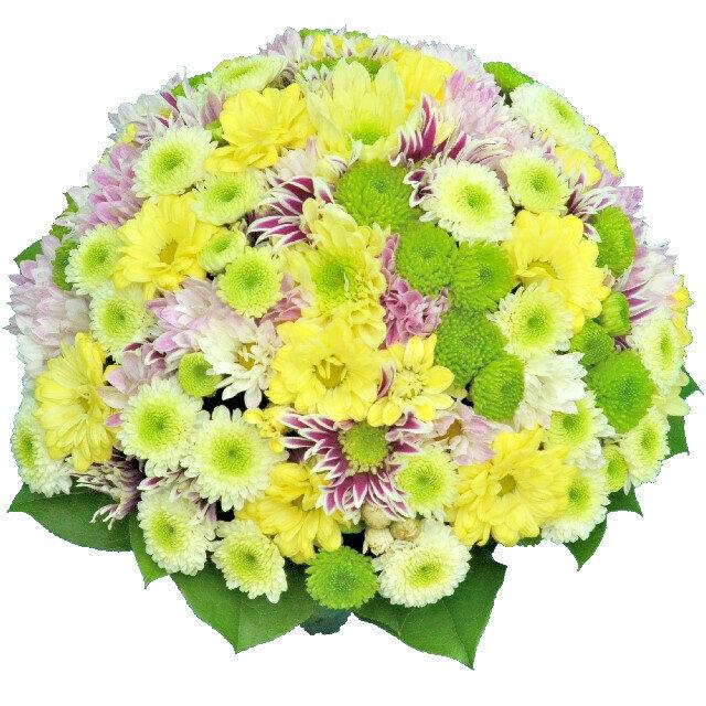 Krémové chryzantémy