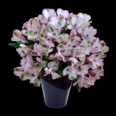 Alstroméria bielo-ružová