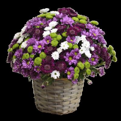 Purpurový mix chryzantém