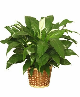 Peace Lily Plant With fresh or silk  flowers and a bow to match