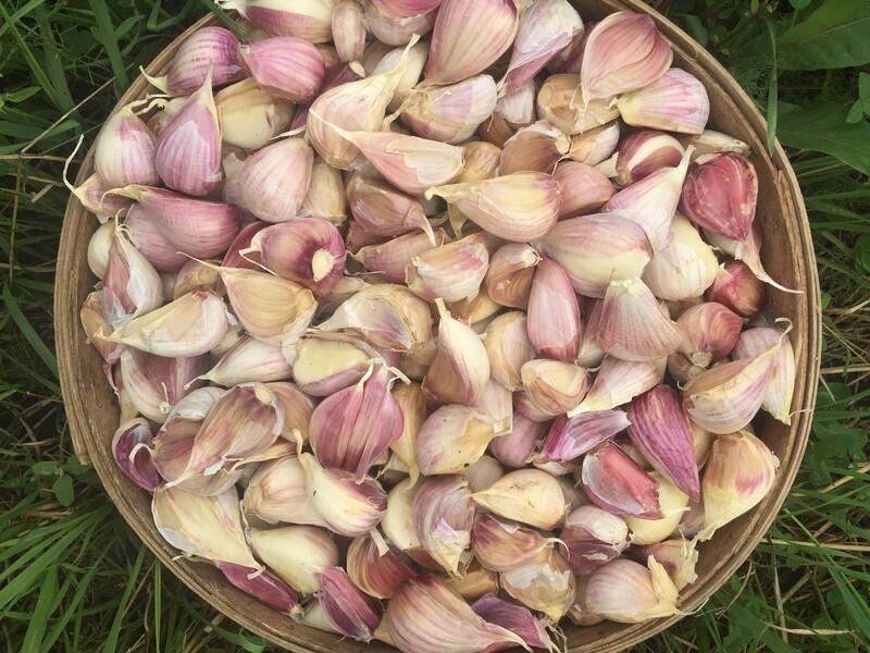 50# Organic Garlic Seed - SPECIAL!