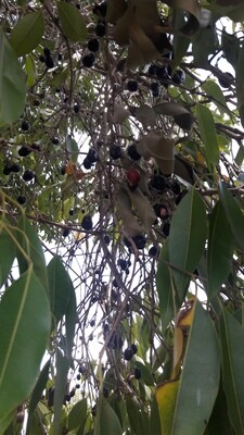 Jamun Large Tree saplings (50) [Pre-Order: Delivery period-Monsoon]