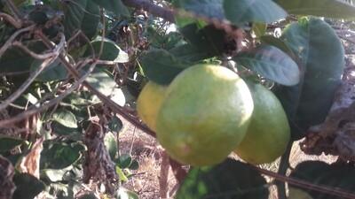Natural Gondharaj lemon (1.5 kgs) [Pre-Order. Delivery as per seasonal arrival]