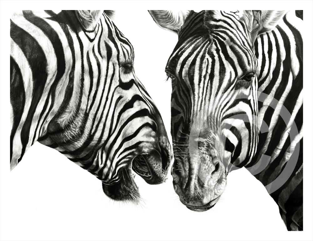 """""""Zebra Gossip"""" 674mm x 510mm original size print on paper"""