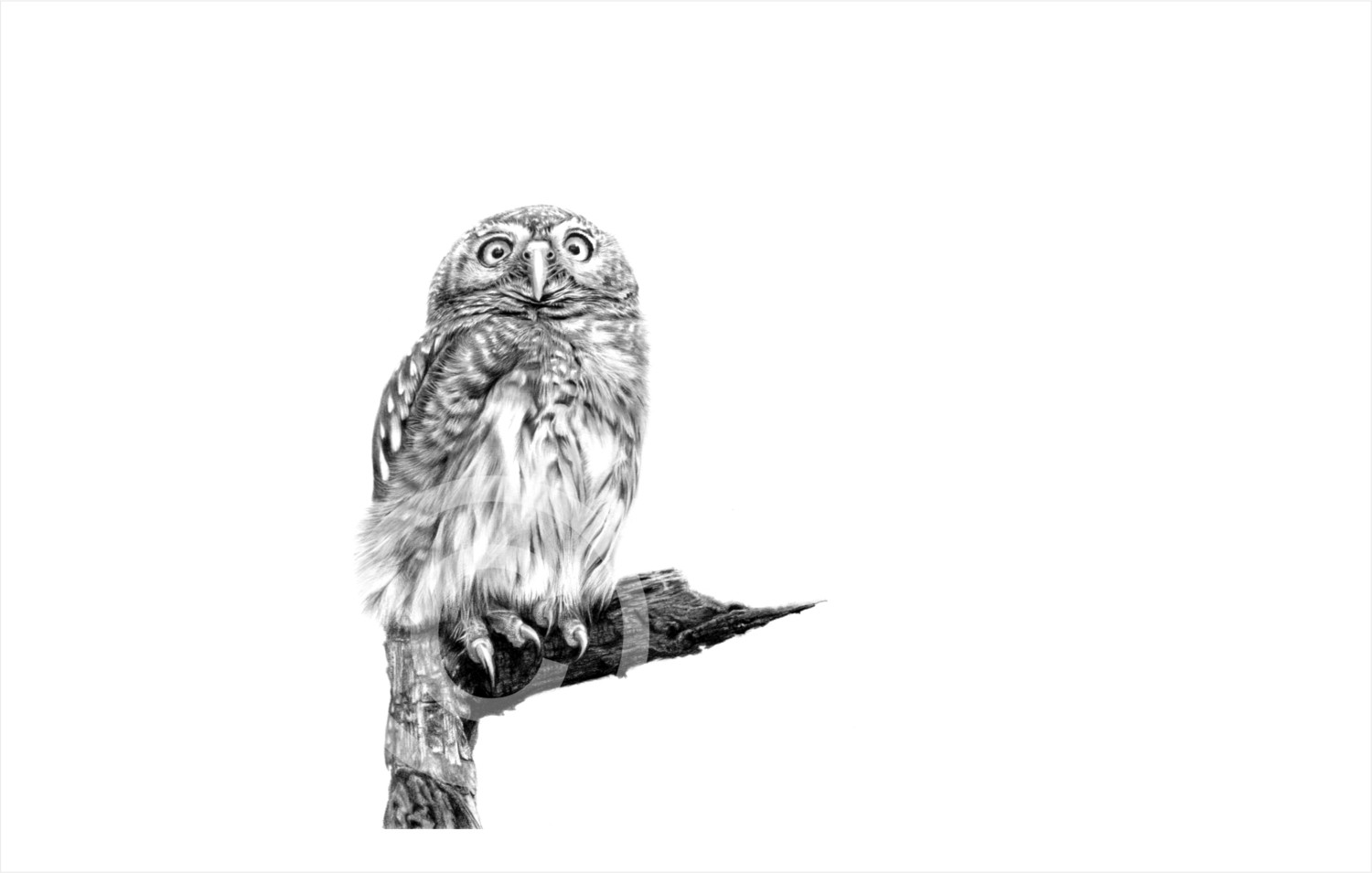 """""""Pearl Spotted Owlet"""" 580mm x 355mm original size print on paper"""
