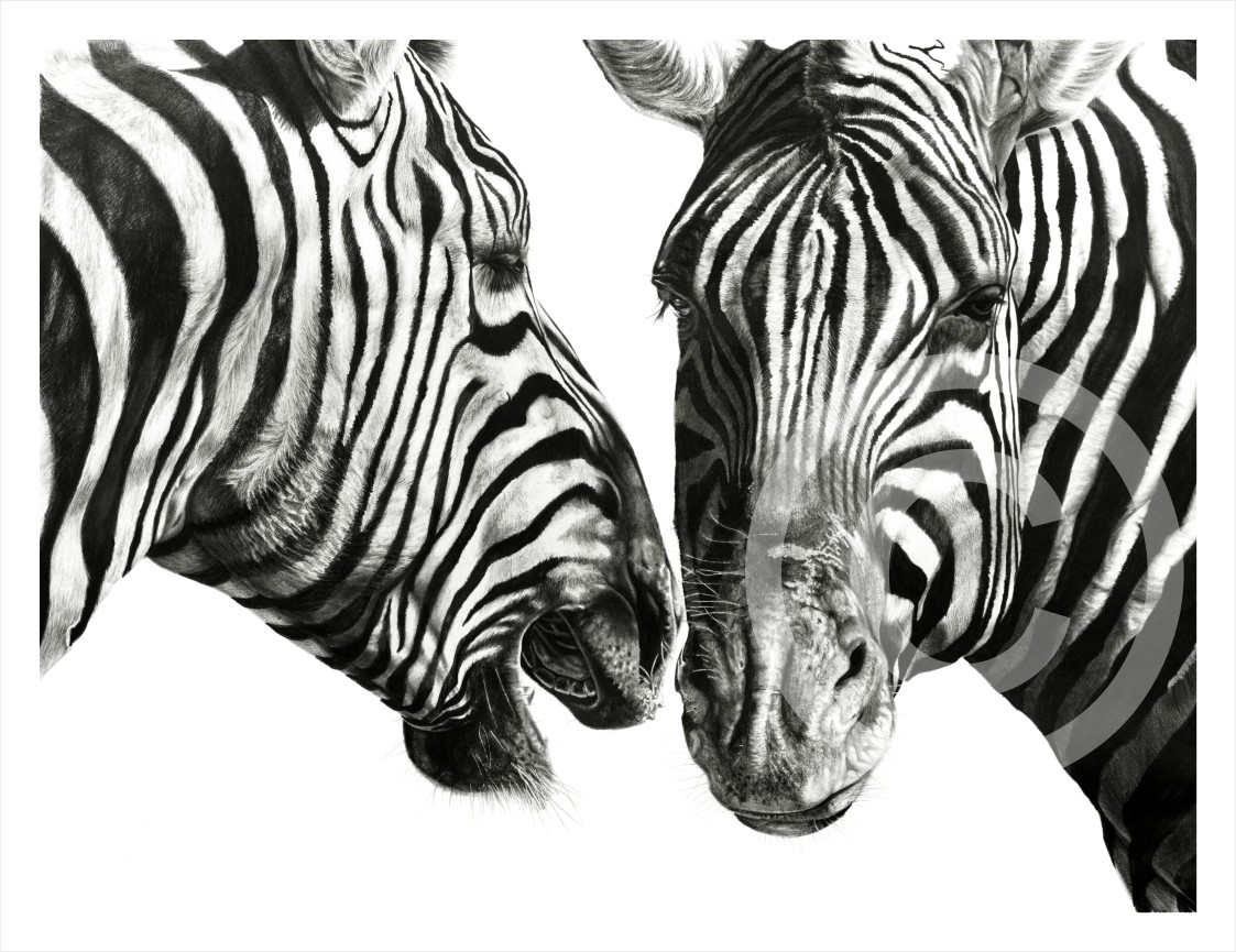 """Zebra Gossip"" 674mm x 510mm original size print on paper"
