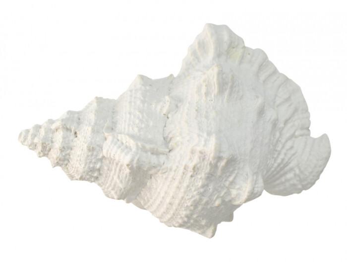 White Poly Sea Snail Shell