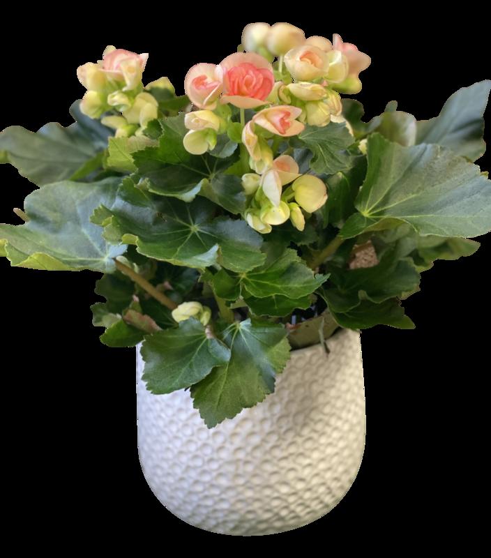 Florist Begonia in Decorative Pot