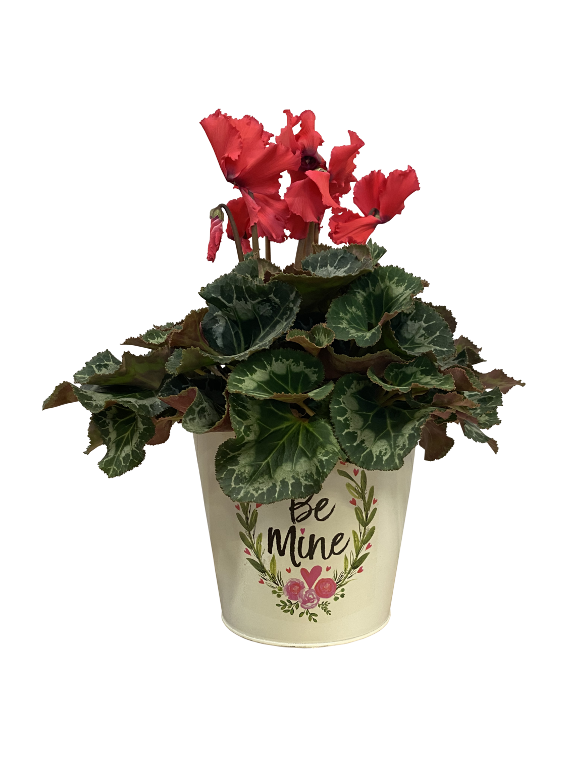 Blooming Cylcamen in Decorative Pot