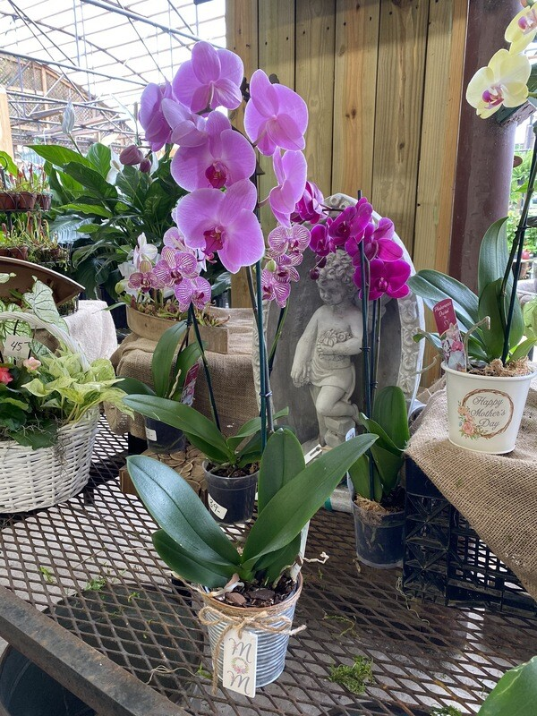 Orchids (real) In A HMD Pot
