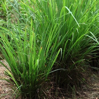 Palmarosa  -  Cymbopogon martini var. motia  -  India  -  Organic