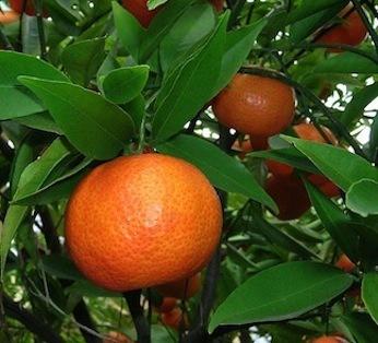 Mandarin -  Citrus reticulata      Italy       Conventional