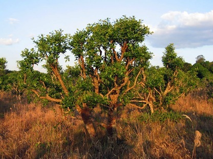 Frankincense  -  Boswellia carteri   |   Saudia Arabia   |   Wild Harvest