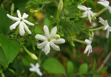 Jasmine Absolute  -  Jasminum grandiflorum   |   India   |   Conventional
